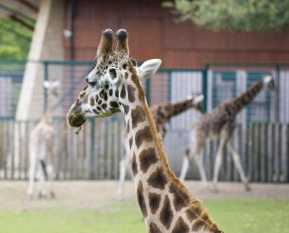 Free Stock Photo of Giraffe in zoo