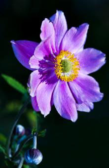 Free Stock Photo of Purple Japanese Anemone
