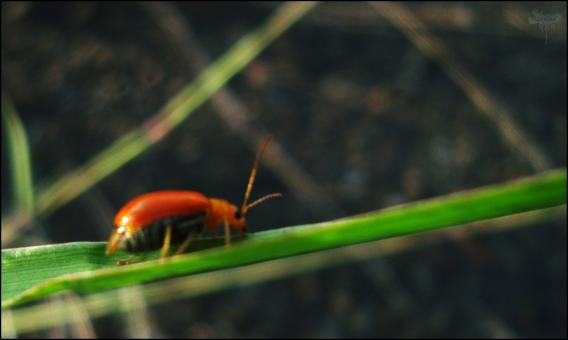 Free Stock Photo of Red Beetle