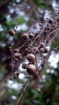 Free Stock Photo of Seed Pods
