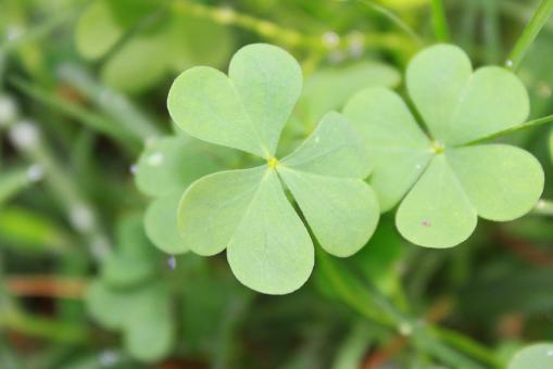 Free Stock Photo of Clover