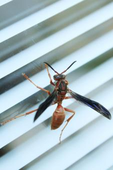 Free Stock Photo of Wasp