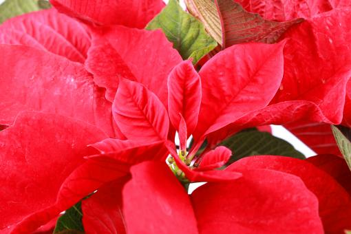 Free Stock Photo of Red poinsettia
