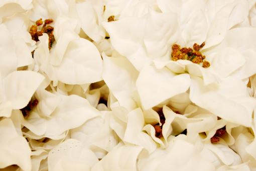 Free Stock Photo of White poinsettia