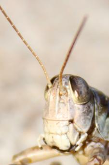 Free Stock Photo of Grasshopper