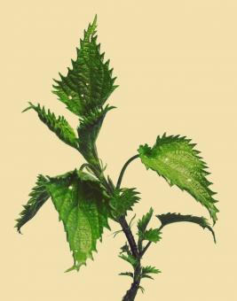 Free Stock Photo of Nettle
