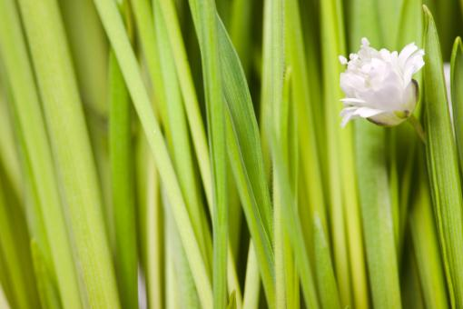 Free Stock Photo of White Flower and Green Grass