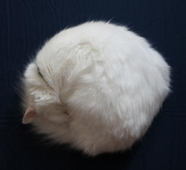 Free Stock Photo of round cat