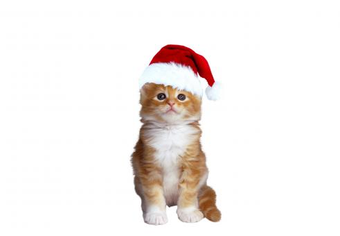 Free Stock Photo of Christmas Cat