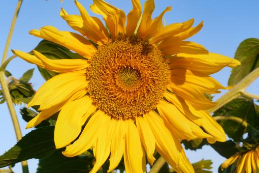 Free Stock Photo of Sunflower Up Close