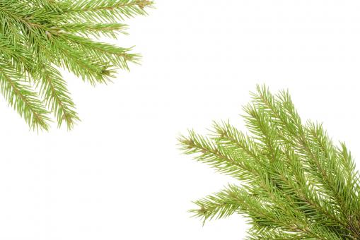 Free Stock Photo of Pine branches