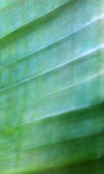 Free Stock Photo of Banana leave