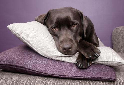 Free Stock Photo of Labrador dog lying on pillows