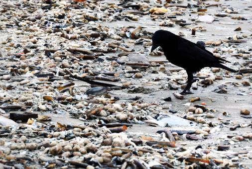Free Stock Photo of Black crow on beach