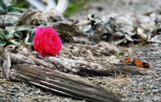 Free Stock Photo of Dead bird and rose