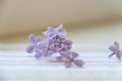Free Stock Photo of The Lilac