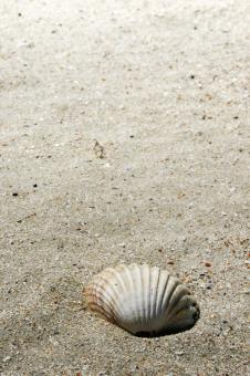 Free Stock Photo of shell on beach