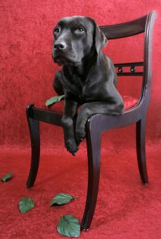 Free Stock Photo of Labrador dog on chair