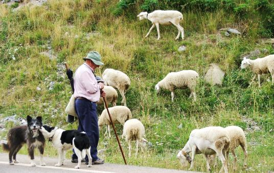 Free Stock Photo of Farmer with sheep and dogs