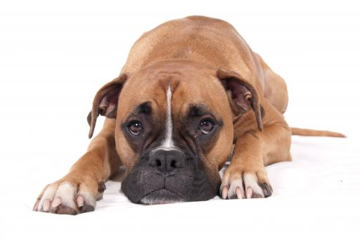 Free Stock Photo of Boxer dog lying down