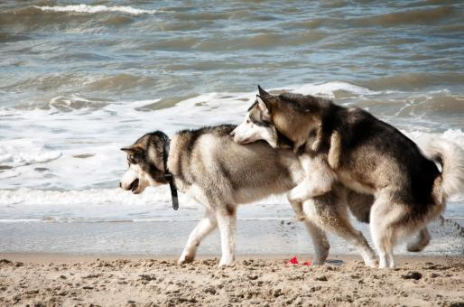 Free Stock Photo of Siberian husky dogs mating