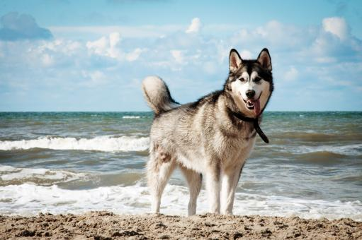 Free Stock Photo of Siberian husky dog on beach