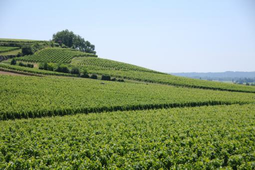 Free Stock Photo of French vineyard