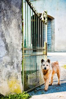 Free Stock Photo of Scruffy dog waiting at the gate