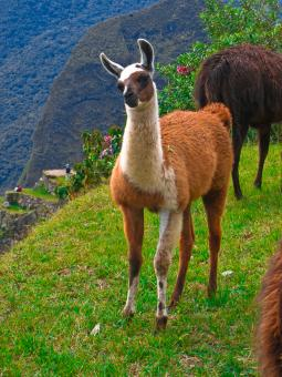 Free Stock Photo of Machu Picchu Llama