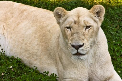 Free Stock Photo of White Lioness