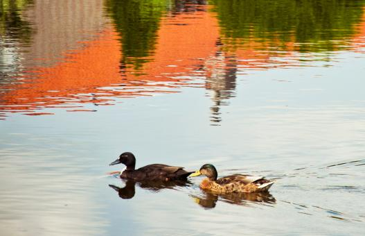 Free Stock Photo of Swimming ducks