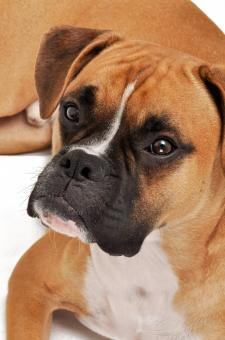 Free Stock Photo of Boxer dog