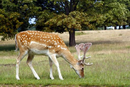 Free Stock Photo of Fallow deer