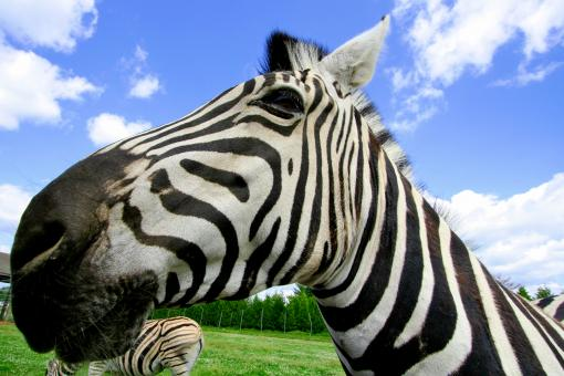 Free Stock Photo of Wide-Angle Zebra