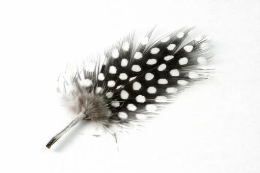 Free Stock Photo of Polkadot Feather Close-up