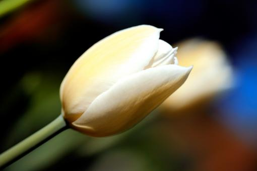 Free Stock Photo of White Tulip