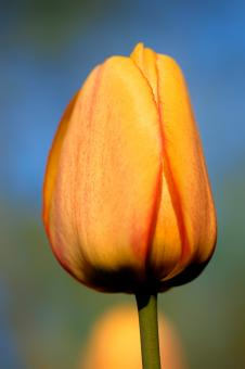 Free Stock Photo of Orange Tulip