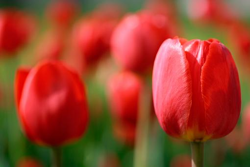 Free Stock Photo of Red Tulips