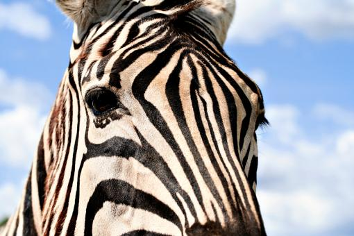 Free Stock Photo of Zebra Profile