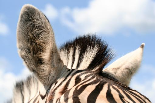 Free Stock Photo of Zebra Ears