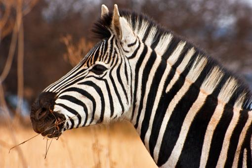 Free Stock Photo of Zebra Close-up