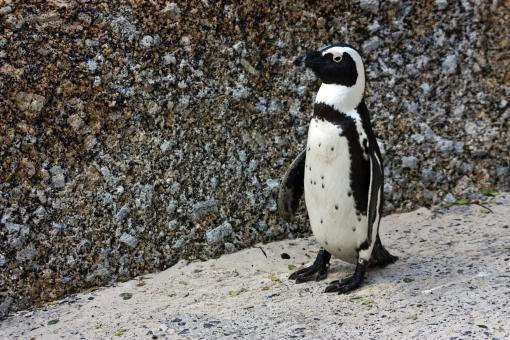 Free Stock Photo of African Penguin
