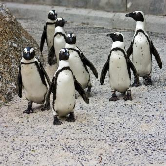 Free Stock Photo of Penguin Posse
