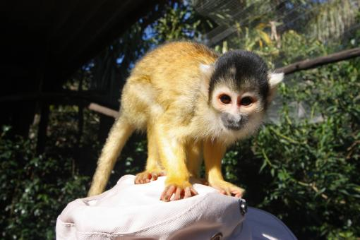 Free Stock Photo of Squirrel Monkey