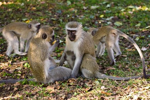 Free Stock Photo of Vervet Monkeys