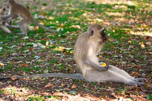 Free Stock Photo of Vervet Monkey