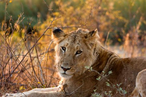 Free Stock Photo of Kruger Park Lioness