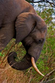 Free Stock Photo of Kruger Park Elephant