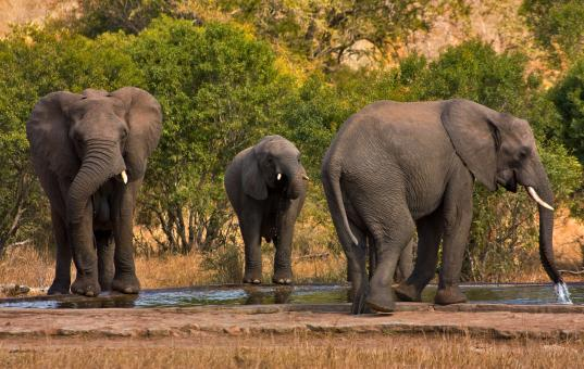 Free Stock Photo of Kruger Park Elephants