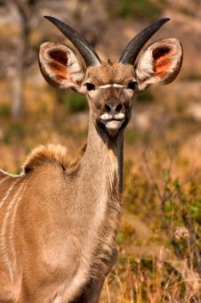 Free Stock Photo of Young Kudu